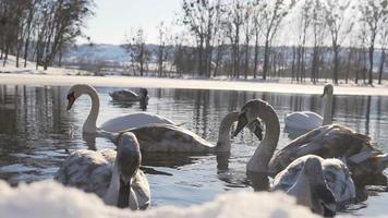 Hermosa pájaros cisne en el lago de invierno