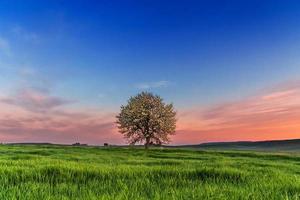 SPRING  LANDSCAPE.Blossoming tree at dawn. Between Puglia and Basilicata ITALY photo