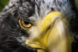 Staring Eagle Eye