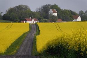 Rape field with church photo