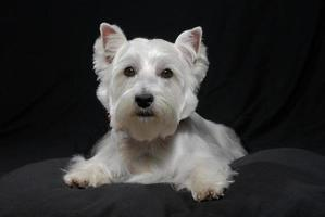 White Westhighland westie terrier dog on black background photo