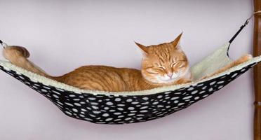 Cat sleep in a fur hammock