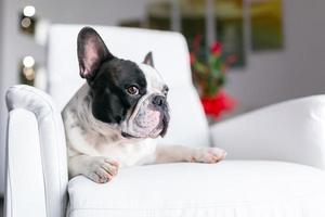 French bulldog lying down at the TV photo