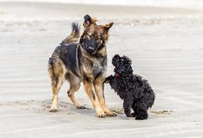 Two dogs playing on a sandy beach