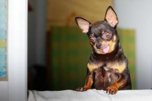 Cute chihuahua looking out a window