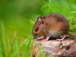 Wild mouse sitting on log