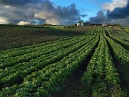 Field of crops with clouds and farm in the distance