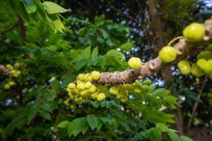Star gooseberry fruit on a tree
