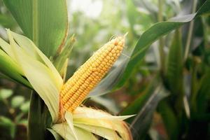 Fresh corn on stalk in the morning light