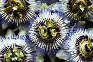 pasiflora azul de cerca