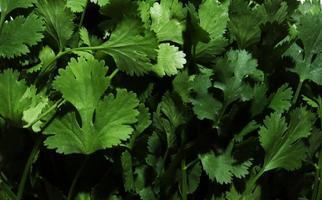 Bunch of cilantro