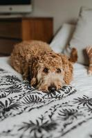Golden doodle dog laying on bed