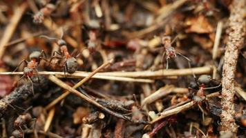 hormigas trabajando en hormiguero.