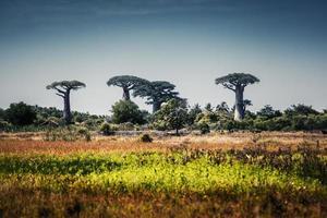 Madagascar. árboles de baobab