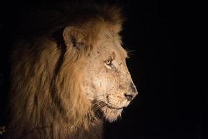 león en la noche foto