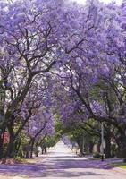 Street of beautiful purple jacaranda in bloom. Spring in South Africa. photo
