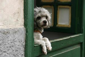 Perro mirando por la ventana photo