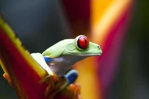RED EYES FROG, COSTA RICA photo
