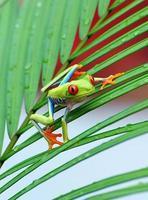 rana arborícola de ojos rojos, costa rica foto