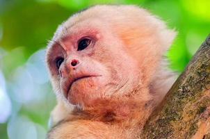Cebus Monkey photo