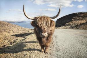 Highland cattle in southern Isle of Skye, Scotland