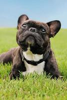 French Bulldog laying in the grass