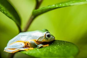 Frog on exotic leaf in the real jungle photo