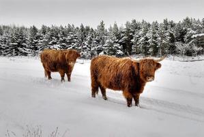 ganado de las tierras altas de escocia foto