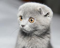 Scottish Shorthair cat