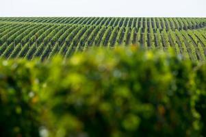 viñedos de saint emilion, viñedo de burdeos