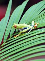 rana arborícola de ojos rojos, costa rica