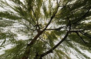 Bottom view of a willow tree foliage