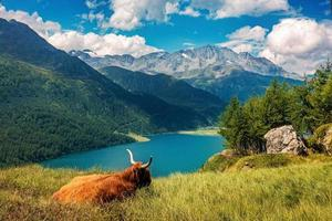 Cow relaxing on alpine meadow