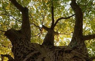 gran árbol ramificado durante el otoño