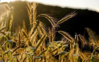 Golden light in a wheat field