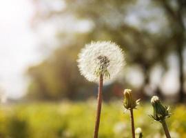 Sunshine on dandelions