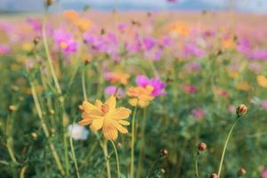 Cosmos flower and colorful field