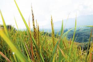 Rice field on hill.