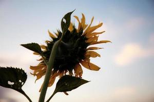 Sunflower with the sunset