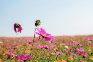 Pink cosmos flower in field