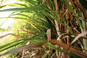 Sugarcane leaves with bright background