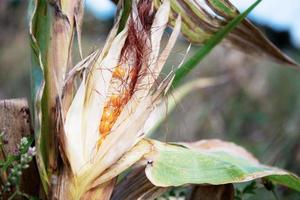 Dry corn pods