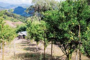 Orange tree on hill