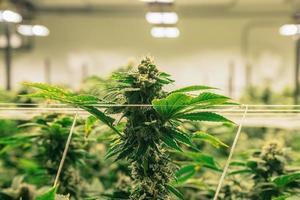 planta de cannabis en interiores