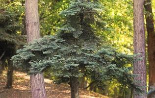Small conifer among tree trunks