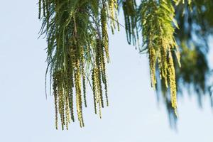 Hanging conifer leaves and fruits