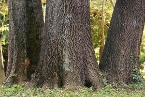 Group of big tree trunks