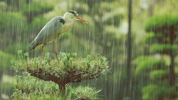 Funny grey heron stretching his neck during a rainstorm
