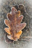 autumn leaves under hoarfrost