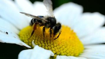 bee on a daisy(camomile) video
